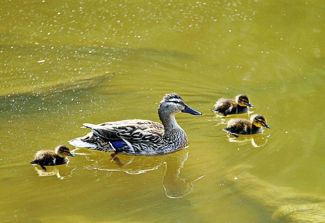 Mallard and her chicks